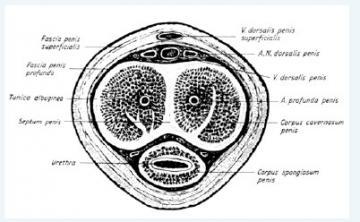 Erekcja (fizjologia) – Wikipedia, wolna encyklopedia